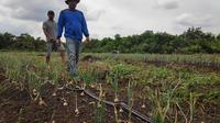 Kebun bawang siap panen di Desa Bandar Jaya, Kabupaten Bengkalis, setelah pemiliknya meninggalkan sawit. (Liputan6.com/M Syukur)