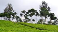 Hamparan hijaunya dedaunan perkebunan teh Kabawetan penghasil teh Naga Hitam memberikan sensasi di pagi hari (Liputan6.com/Yuliardi Hardjo)