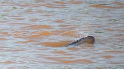Sejumlah lumba-lumba tak bersirip berenang di Sungai Yangtze di Yichang, Provinsi Hubei, China tengah, pada 3 Agustus 2020. Lumba-lumba tak bersirip, spesies endemik di China, menjadi indikator penting untuk ekologi Sungai Yangtze. (Xinhua/Lei Yong)