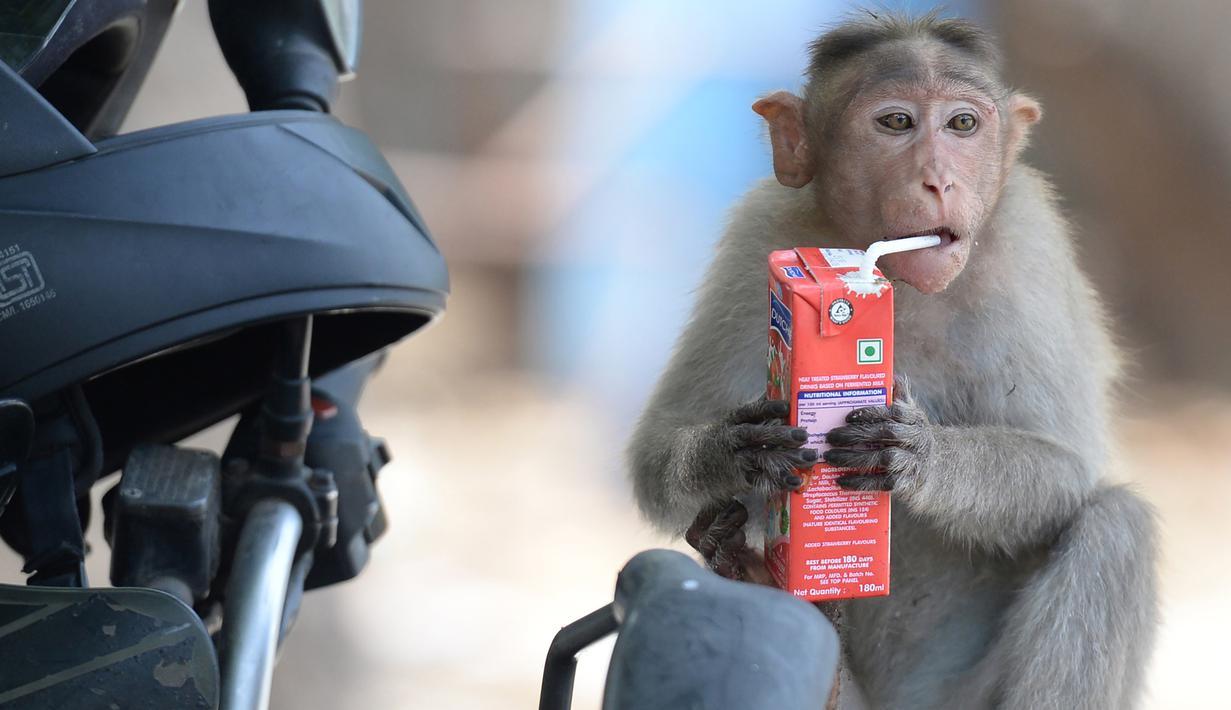 Seekor monyet minum jus kotak selama musim panas di Guindy Children's Park di Chennai, India (10/6/2019). Gelombang panas yang menyapu bagian utara dan barat India dengan suhu maksimum melonjak hingga 48 derajat Celcius ( 118 F) membuat para monyet kepanasan. (AFP Photo/Arun Sankar)