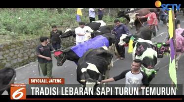 Layaknya manusia, hewan sapi dan kambing ikut merayakan Lebaran di Boyolali, Jawa Tengah.