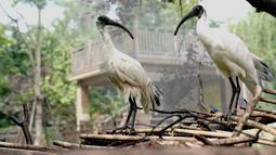 Dua ekor ibis putih disemprot dengan air agar tidak kepanasan di Kebun Binatang Shanghai di Shanghai, China timur (11/8/2020). Suhu tertinggi di Shanghai mencapai 35 derajat Celsius pada Selasa (11/8). (Xinhua/Zhang Jiansong)