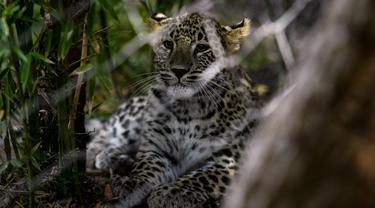Seekor macan tutul Persia terlihat di Kebun Binatang Lisbon, Portugal pada 15 November 2019. Sebanyak tiga macan tutul Persia lahir di ibu kota Portugal pada 23 Mei lalu, tetapi kelahiran mereka baru saja diumumkan. (PATRICIA DE MELO MOREIRA / AFP)