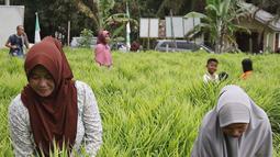 Suasana saat anggota KWT Mekar Wangi binaan program DMPA yang diinisiasi APP Sinarmas merawat tanaman jahe merah di Tanjung Jabung Barat, Jambi, Jumat (4/5). Budidaya ini mampu menghasilkan 7,2 ton jahe merah per delapan bulan. (Liputan6.com/Angga Yuniar)