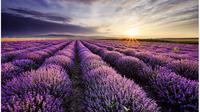 Ungu akan mendominasi penglihatan Anda ketika bertandang ke perkebunan lavender.