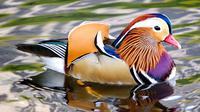 Mandarin Duck, Bebek Tercantik di Dunia (adubon)