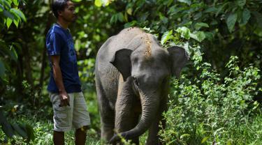 Seekor bayi gajah Sumatra berusia dua tahun berinteraksi dengan pawang dari Unit Respons Konservasi Trumon di Trumon, kabupaten Aceh Selatan (10/1). Gajah sumatera berpostur lebih kecil daripada subspesies gajah india. (AFP Photo/Chaideer Mahyuddin)