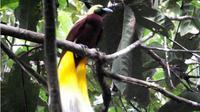 Burung Cendrawasih (merdeka.com)