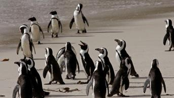 Langka, Sengatan Lebah Bunuh 63 Penguin Berstatus Punah di Afrika Selatan