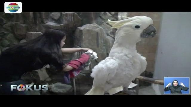 Seorang gadis asal Sidoarjo, Jawa Timur bergelimang harta berkat budidaya burung cinta.