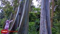 Pohon pelangi atau Rainbow eucalyptus, yang terdapat di Dusun Darungan, Desa Sumberwringin Kecamatan Sumberwringin, Kabupaten Bondowoso Jawa Timur (TIMES Indonesia/Moh Bahri)