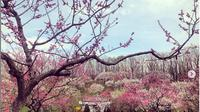 Festival mekarnya bunga plum yang berada di Sapporo, Hokkaido. (dok. Instagram @ron.375/https://www.instagram.com/p/Bi6Ldogg4FX/Esther Novita Inochi)