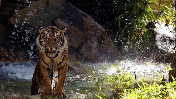 Kisah Legenda Manusia Harimau Pelindung Warga Bengkulu - Regional  Liputan6.com