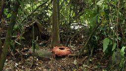 Bunga raksasa Rafflesia Arnoldii mekar sempurna dengan kelopak berjumlah tujuh di habitat Rafflesia Padang Guci, Kaur, Bengkulu, Rabu (17/1). Ini pertama kali terjadi Rafflesia Arnoldii dengan tujuh kelopak karena normalnya lima kelopak. (DIVA MARHA/AFP)