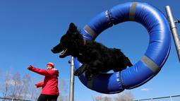 Seekor anjing melompat melewati sebuah ban saat mengikuti kejuaraan di Krasnoyarsk, Rusia, Jumat (3/5). Perlombaan ini digelar untuk memperebutkan gelar juara anjing paling tangkas.  (Reuters/Ilya Naymushin)