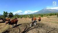 Petani memberi pakan ternak sapi-sapi peliharaannya di kaki Gunung Agung, Tulamben, Bali (30/6). Sebelumnya, Gunung Agung mengalami erupsi pada Kamis, 27 Juni 2018. (Merdeka.com/Arie Basuki)
