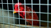 Seekor ayam berada di kandang saat akan mengikuti sabung ayam di Kota Najaf, Irak, Sabtu (26/1). Ayam yang dipertandingkan mendapat perawatan khusus seperti diberi makan daging, telur, dan kulit sayur. (Haidar HAMDANI/AFP)