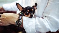 Chihuahua / Sumber: Pixabay