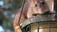 Cara ampuh agar tikus tidak masuk ke rumah adalah memeriksa seluruh bagian rumah.