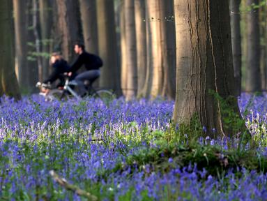 Orang-orang mengendarai sepeda di dekat bunga bluebells liar yang mengubah lantai hutan menjadi biru, membentuk karpet di Hallerbos, juga dikenal sebagai 'Hutan Biru', dekat Halle, Belgia (18/4). Bunga bluebells liar ini mekar sekitar pertengahan April. (Reuters/Yves Herman)