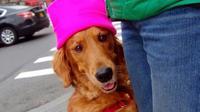 Loubie, seekor anjing golden retriever memiliki kebiasaan unik saat diajak berjalan-jalan sore, yaitu memeluk kaki orang asing, penasaran?