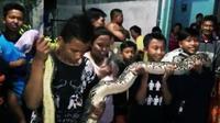 Ular piton ini sangat meresahkan warga lantaran berkeliaran di bantaran sungai sekitar permukiman di Jalan Pahlawan, Kota Probolinggo, Jawa Timur. (Liputan6.com/Dian Kurniawan)