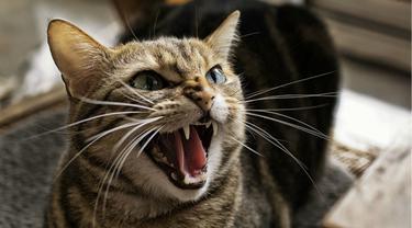 Gampang Marah, Periksa Kucing Anda