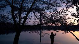 Seorang warga memotret pohon sakura yang bermekaran di sekitar Basin Tidal saat matahari terbit di Washington, DC, (4/6). (AFP Photo/Saul Loeb)
