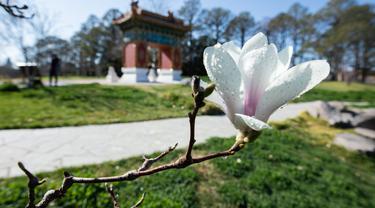 Bunga magnolia terlihat di Beijing Garden di dekat Danau Burley Griffin, Canberra, Australia (7/9/2020). Canberra, ibu kota Australia, memasuki musim semi pada September. (Xinhua/Chu Chen)
