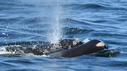 Paus pembunuh J35 membawa bangkai bayinya yang baru dilahirkan di sekitar pantai British Columbia, Kanada, Selasa (24/7). J35 akhirnya melepaskan bayinya di laut lepas setelah membawanya selama 17 hari. (David Ellifrit/Center for Whale Research via AP)
