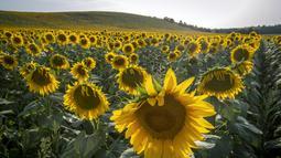 Bunga matahari terlihat di sebuah lapangan di Ayguesvives, Toulouse, Prancis selatan (23/7/2019). Peramal cuaca memperkirakan suhu tertinggi di berbagai negara eropa termasuk Prancis tempat merkuri akan mencapai 40 derajat Celcius untuk pertama kalinya pada 23 Juli 2019. (AFP Photo/Cabanis Eric)