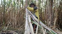 Aktivitas petani tebu di Desa Betet, Pesantren, Kediri, Jatim pada akhir September lalu. Bulog hanya membeli sekitar 100 ribu ton, sehingga sebagian petani terpaksa menjual gula dengan harga di bawah Rp 9.000 per Kg. (Merdeka.com/Iqbal S. Nugroho)