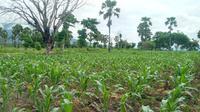 Puluhan hetar tanaman jagung warga Ile Ape- Lembata diserang ulat grayak. (Liputan6.com/ Doinisius Wilibardus)