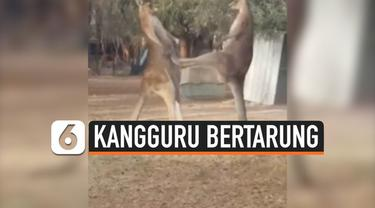 Momen pertarungan dua kangguru jantan berhasil diabadikan seorang pria yang bekerja di shelter satwa liar, Australia. Kangguru tersebut bertarung demi memperebutkan wilayah kekuasaan. Uniknya, keduanya akan berteman baik alias tak menjadi musuh setel...