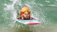 Seekor anjing, Skyler Henard bersaing dalam kompetisi Surf City Surf Dog di Huntington Beach, California pada 28 September 2019. Para anjing menunjukkan keahlian mereka dengan menaklukkan ombak setinggi satu sampai tiga kaki. (Kyle Grillot / AFP)