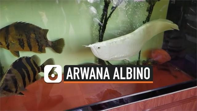 Seekor ikan arwana albino dipamerkan di Provinsi Can Tho, Vietnam. Ikan yang dipercaya membawa keberuntungan ini memiliki harga jual yang sangat tinggi.