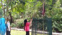 Bunga bangkai yang sedang mekar di Kebun Raya Bogor, Jawa Barat, Senin (7/10/2019). (Liputan6.com/Achmad Sudarno)