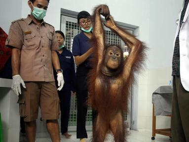 Septi, Orangutan berusia enam tahun mendapat pemeriksaan di Bali Zoo, Gianyar, Bali (30/12). Kebun binatang di Bali ini setiap bulannya rutin memeriksa kesehatan Orangutan yang diselamatkan dari kebakaran hutan di Kalimantan. (AP Photo/Firdia Lisnawati)