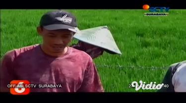 Ribuan hektar padi milik petani di nam kecamatan di Ngawi, Jawa Timur rusak diserang hama tikus. Mengantisipasi semakin parahnya serangan hewan pengerat tersebut, puluhan petani membakar sarang tikus, dan berupaya membuat rumah burung hantu.