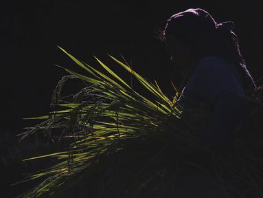 Seorang petani Nepal saat membawa padi yang dipanen di Chaukot, di Distrik Kavre, Nepal (14/11/2019). Pertanian adalah sumber utama makanan, pendapatan, dan pekerjaan bagi mayoritas orang di Nepal. (AP Photo/Niranjan Shrestha)