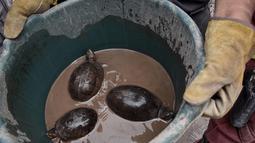 Petugas pemadam kebakaran menyelamatkan tiga kura-kura yang ditemukan dua hari setelah letusan gunung Fuego yang tertutup debu di desa San Miguel Los Lotesi Departemen Escuintla, sekitar 35 km di barat daya Kota Guatemala (5/6). (AFP Photo/Johan Ordonez)