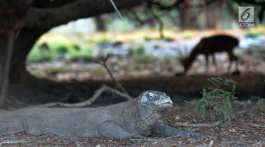 Melihat Interaksi Komodo dengan Manusia di Pulau Rinca