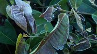 Embun yang membeku membuat pucuk daun teh di Kertasari, Kabupaten Bandung, menjadi kering dan menghitam. (Liputan6.com/Huyogo Simbolon)