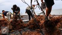 Petani menjemur rumput laut di kawasan Kelurahan Manggar, Balikpapan Timur, Jumat (15/4). Program CSR Pertamina telah mensejahterakan masyarakat di RT.53 Kelurahan Manggar. (Liputan6.com/Fery Pradolo)