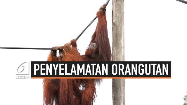 Sebentar lagi Ibu Kota Indonesia pindah ke Kalimantan Timur. Di wilayah ini tenyata ada tempat khusus untuk rehabilitasi   orangutan sebelum dilepasliarkan.