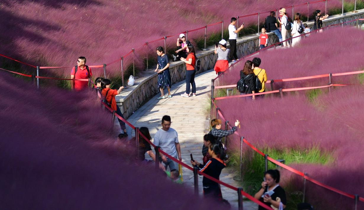 Para wisatawan berjalan-jalan di padang rumput muhly berwarna pink di Taman Niugangshan di Fuzhou, Provinsi Fujian, China tenggara, pada 11 Oktober 2020. (Xinhua/Wei Peiquan)
