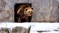 Karena musim dingin yang lebih hangat dari biasanya, sepasang beruang mengira sudah waktunya keluar dari hibernasi mereka.