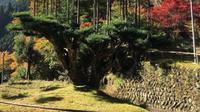 Mengenal Tradisi Menanam Pohon di atas Pohon di Jepang. (dok.Instagram @yokaisoho/https://www.instagram.com/p/BbVlKlnD688/Henry)