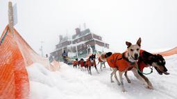 Pengemudi kereta luncur anjing menembus salju saat mengikuti lomba Sedivackuv Long di Destne v Orlicky Horach, Republik Ceko, Jumat (25/1). Sekitar 100 pebalap dengan 700 anjing berlomba di salju tebal. (Photo/Petr David Josek)