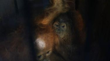 Dua ekor orangutan yang gagal diselundupkan dari Kota Dumai tujuan Malaysia.